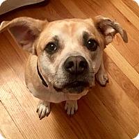 Adopt A Pet :: TIlly - Pawling, NY