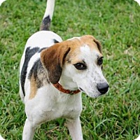 Adopt A Pet :: Tris - New Smyrna beach, FL