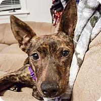 Adopt A Pet :: Betsy~meet me~ - Glastonbury, CT