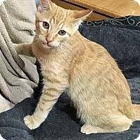 Adopt A Pet :: Luke Skywhisker LC - Schertz, TX