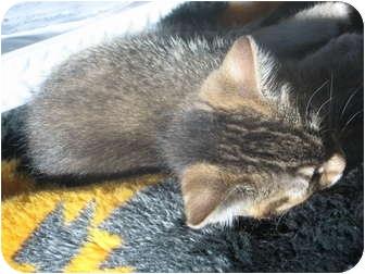 Domestic Shorthair Kitten for adoption in Jeffersonville, Indiana - Belle