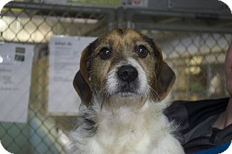Beagle/Terrier (Unknown Type, Medium) Mix Dog for adoption in New Cumberland, West Virginia - McLovin