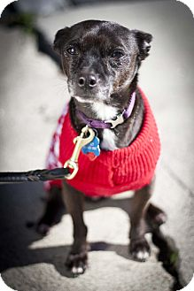 Chihuahua Mix Dog for adoption in Santa Monica, California - Pepe
