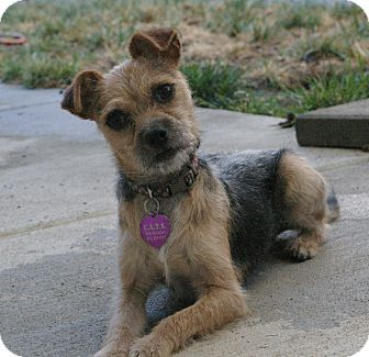 chihuahua and yorkie mix tommy adopted dog sacramento ca chihuahua yorkie 6146