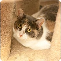 Domestic Shorthair Cat for adoption in Los Angeles, California - Tanga