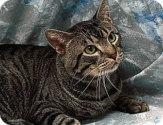 Domestic Shorthair Cat for adoption in St. Louis, Missouri - Sammy Hagar