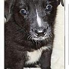 Adopt A Pet :: Lizzy's litter 1 boy left