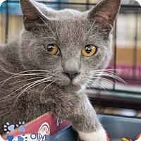 Adopt A Pet :: Oliver - Merrifield, VA