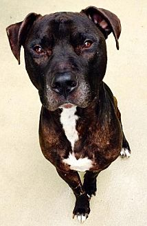 Labrador Retriever/Pit Bull Terrier Mix Dog for adoption in Sebastian, Florida - Ghost