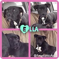 Adopt A Pet :: Ella 1 meet me 12/4 - Manchester, CT