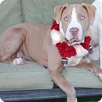 Adopt A Pet :: Carmen - Toluca Lake, CA