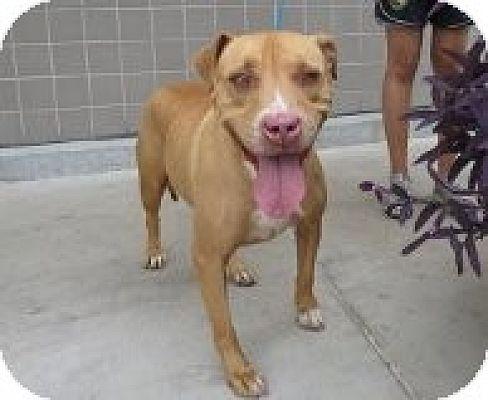 American Pit Bull Terrier Mix Dog for adoption in Las Vegas, Nevada - Freyja