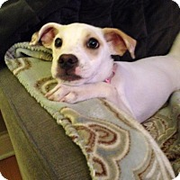 Adopt A Pet :: Blossom - North Brunswick, NJ