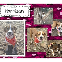 Adopt A Pet :: Harrison - Graford, TX