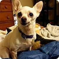 Adopt A Pet :: Sibby-SWEET! - Oak Ridge, NJ