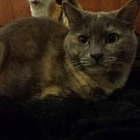 Domestic Shorthair Cat for adoption in Sunny Isles Beach, Florida - Kisses