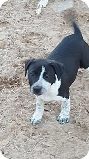 Pointer Mix Dog for adoption in Von Ormy, Texas - Lil Girl(TCR)