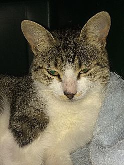 Domestic Shorthair Cat for adoption in Tampa, Florida - Rachel