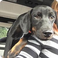 Adopt A Pet :: Higgins - ADOPTED - Livonia, MI