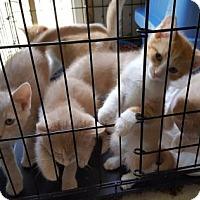 Domestic Shorthair Kitten for adoption in Columbus, Ohio - Rose