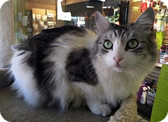 Maine Coon Cat for adoption in Sherman Oaks, California - Butterfly Bush