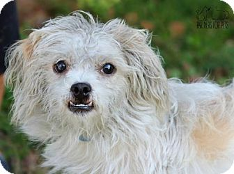 Shih Tzu/Terrier (Unknown Type, Medium) Mix Dog for adoption in Troy, Illinois - Nugget
