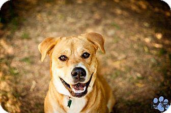 Labrador Retriever Mix Dog for adoption in Hayward, California - Marge