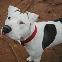 American Bulldog Mix Dog for adoption in West Springfield, Massachusetts - Star