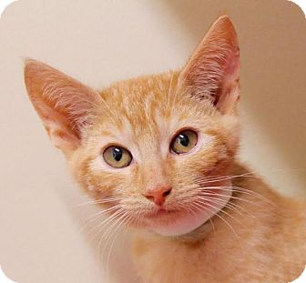 Domestic Shorthair Kitten for adoption in Red Bluff, California - Earl