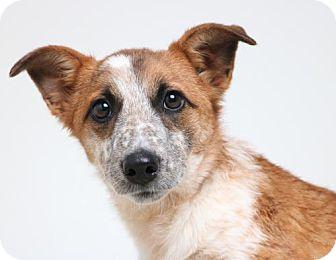 Australian Cattle Dog Mix Puppy for adoption in Edina, Minnesota - Amarina D161915: PENDING ADOPTION