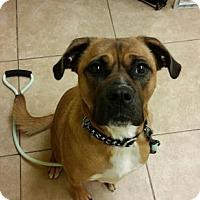 Adopt A Pet :: Bear - Reisterstown, MD