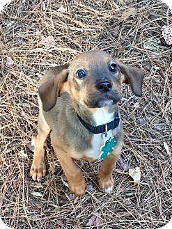 Boxer/Hound (Unknown Type) Mix Puppy for adoption in Alpharetta, Georgia - CoCo Pete