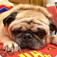 Adopt A Pet :: Noggin - Grapevine, TX