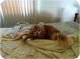 Pomeranian Dog for adoption in Chesapeake, Virginia - Roo