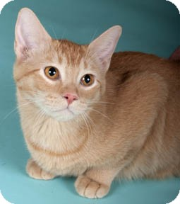 maddie adopted cat chicago il abyssinian