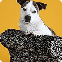 Adopt A Pet :: Jazzy - Dallas, TX