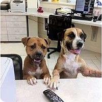 Adopt A Pet :: Vanessa - miami beach, FL