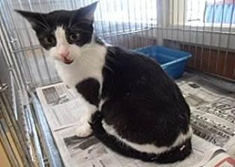 Domestic Shorthair Cat for adoption in Flower Mound, Texas - Marsha
