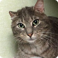 Domestic Shorthair Cat for adoption in Middletown, New York - James