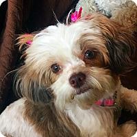 Adopt A Pet :: NINI - Los Angeles, CA