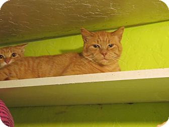Domestic Shorthair Cat for adoption in Coos Bay, Oregon - Orange Crush