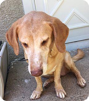 Labrador Retriever/Beagle Mix Dog for adoption in Minnetonka, Minnesota - Joy