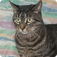 Domestic Shorthair Cat for adoption in Elmwood Park, New Jersey - Bindi