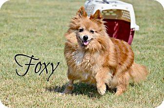 Pomeranian Mix Dog for adoption in Chester, Connecticut - Foxy