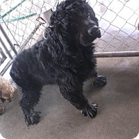 Adopt A Pet :: Blackie - Bonifay, FL