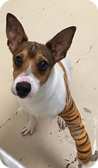 Jack Russell Terrier Mix Dog for adoption in Bryan, Texas - Tigger