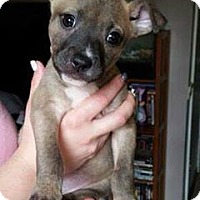 American Pit Bull Terrier/Husky Mix Puppy for adoption in Los Banos, California - Dior