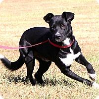 Labrador Retriever/Border Collie Mix Dog for adoption in Glastonbury, Connecticut - Scooter
