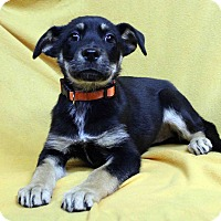 Adopt A Pet :: ALICE - Westminster, CO