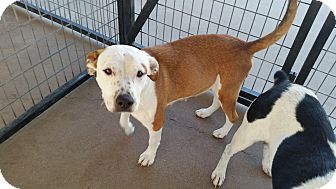 American Pit Bull Terrier Mix Dog for adoption in Bowie, Texas - Sassy